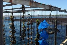 Bleu Marin Bouzigues Découverte et visite des parcs à huitres de l'Etang de Thau en bateau promenade (® bleu marin)