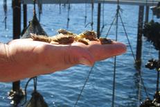 Bleu Marin Bouzigues Visite et promenade en bateau dans les parcs à huitres de l'Etang de Thau ici des naissains dans une main (® bleu marin)