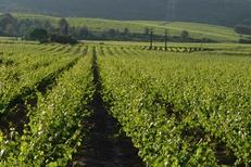 Château Roumanières et ses vins de qualité issus de vignes belles et saines dans le village de Garrigues entre Pic St Loup et Sommières. (® Château Roumanières - Alain Verpillot)