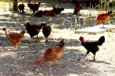 Poulet fermier Montpellier à la Maison Pourthié Candillargues qui vend des volailles, des poulets fermiers et des produits régionaux (® SAAM-fabrice Chort)