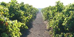 De belles vignes au Domaine du Petit Chaumont producteur de Vins de Sable Bio dans la commune d'Aigues Mortes (crédits photos : NetWorld – Fabrice Chort)